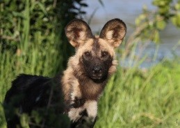 Conserving the endangered African wild dog in the Zimbabwean part of the Greater Limpopo TFCA