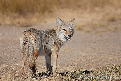 Coyote near Medicine Hat, Alberta, Canada. Photo credit: www.Dreamstime.com