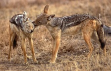 silver-backed jackal – Photo credit: Patricia D. Moehlman
